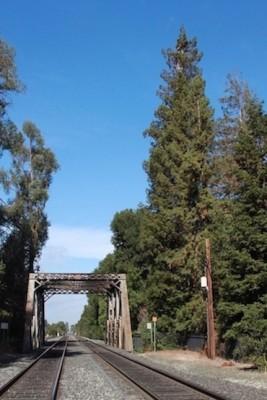 <em>El Palo Alto, le grand bâton, le séquoia géant emblème de l&rsquo;université qui a d&rsquo;abord donné son nom à la ville</em>